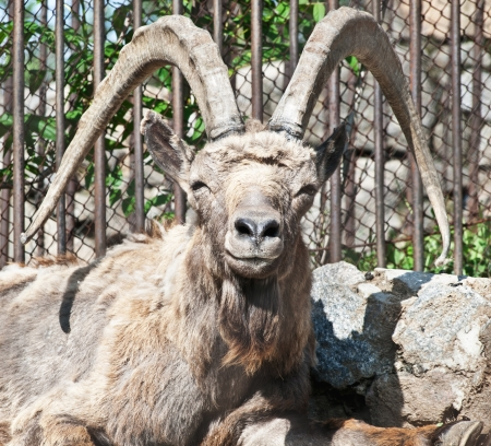 Mountain goat male  Capra ibex  in the zoo Stock Photo - 17126207