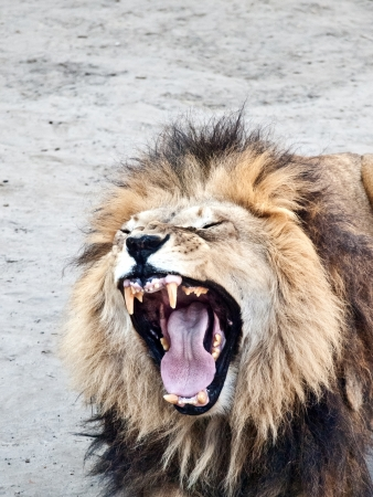 angry lion: Close up shot of male lion roaring
