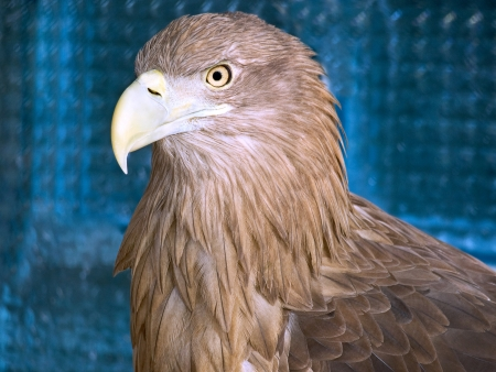 hooked: portrait of an eagle with hooked beak Stock Photo