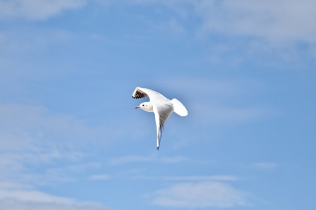 Seagull in the blue sky with wings spread open