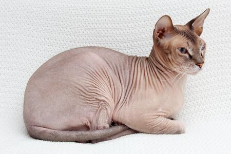 Cat plays on a white background. Sphinx lies on a white knitted bedspread Stock Photo