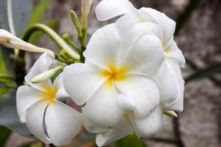 polynesia: tropical flowers in French Polynesia Stock Photo