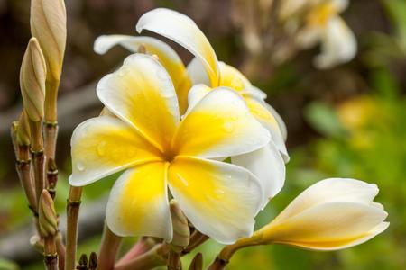 Raindrop sur une fleur jaune tropique