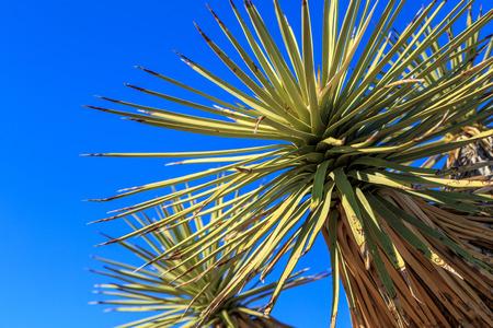 joshua: Joshua Tree close up in California Stock Photo