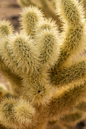 joshua: Cholla cactus garden in Joshua Tree Stock Photo