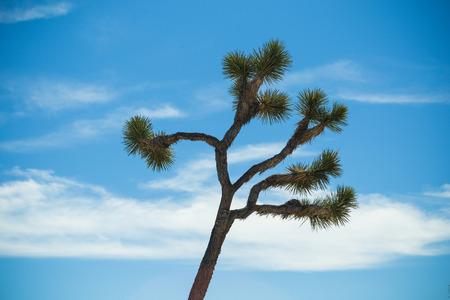 joshua: Joshua Tree with clear blue sky Stock Photo