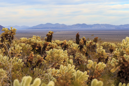 cholla cactus: Cholla Cactus Garden in Joshua Tree Stock Photo