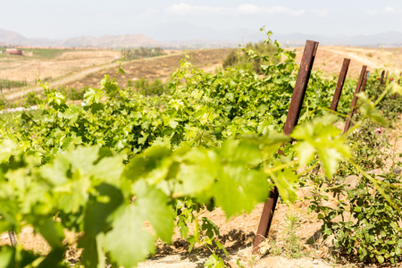wine country: Landscape in Temecula Valley, wine country