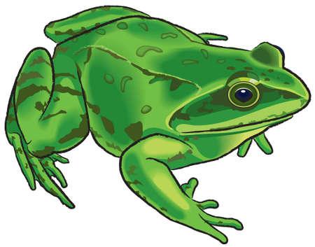 лягушка: Изображение зеленой лягушкой изолированных