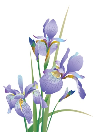 purple iris: The  Image of a flower Illustration