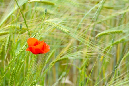 Scenes from the Ardeche Region in France - single red poppy photo
