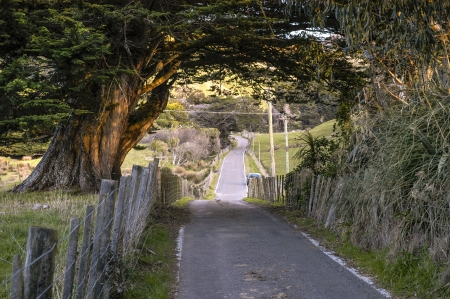 overhanging: A narrow road in the Ohariu Valley passes under the branches of an overhanging large macrocarpa tree