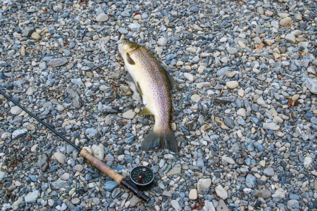 brown trout: A large brown trout and flyrod on a shingle river bed Stock Photo