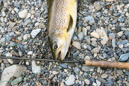brown trout: A large brown trout just caught posed with a fly rod  some of the flyline is shown  The back ground is river gravels Stock Photo