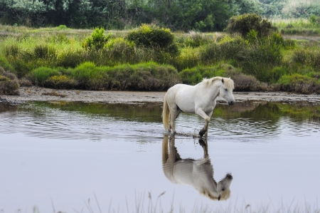 A white horse in the Camargue region of France. The horse is walking across a pond and its reflection is showing photo