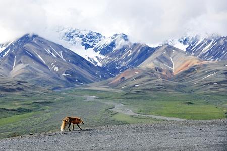 denali: fox and snow mountain in Denali NP, Alaska