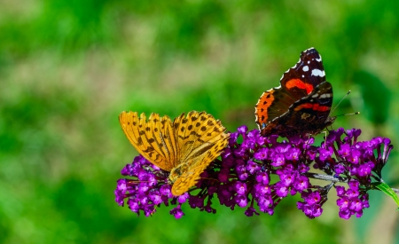 turn away: Two colorful butterflies on purple flower turn away each other