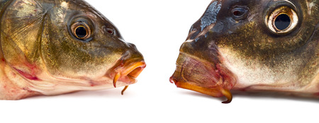 Two head of carp Close-up  photo
