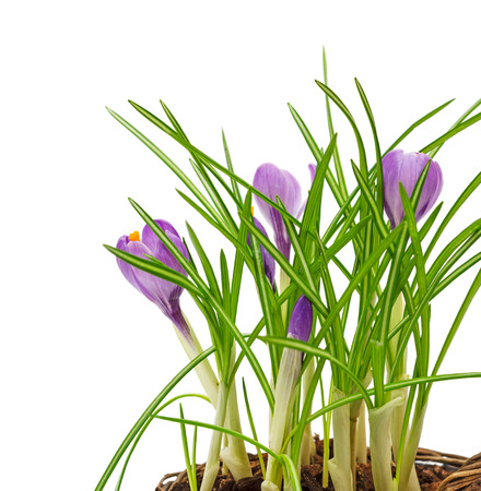Purple spring flowers crocus isolated on white background. photo