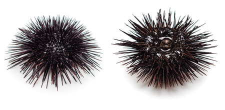 'black sea': Sea urchin isolated on white background