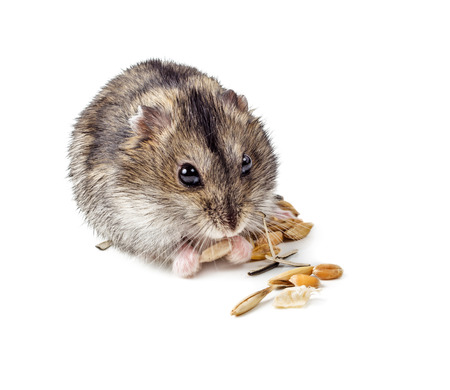 Dwarf hamster eating seed isolated on white .