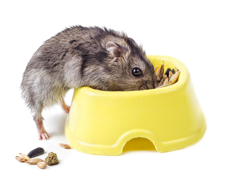russian hamster: Dwarf hamster eating from yellow bowl isolated on white