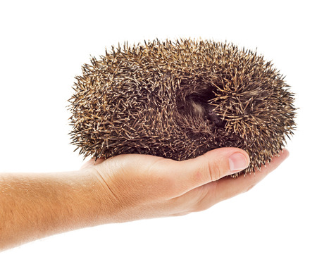 Holding hedgehog rolled in a ball isolated on white background photo