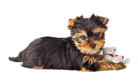 咀嚼のおもちゃと遊び心のある犬。ヨークシャー テリアの子犬がおもちゃで遊ぶ。フィールドの浅い深さ。 写真素材