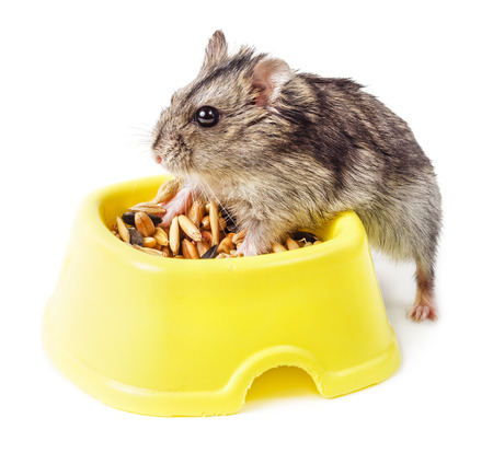 russian hamster: Dwarf hamster eating from yellow bowl isolated on white background Stock Photo