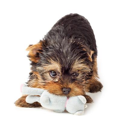 咀嚼のおもちゃと遊び心のある犬。ヨークシャー テリアの子犬がおもちゃで遊ぶ。 写真素材