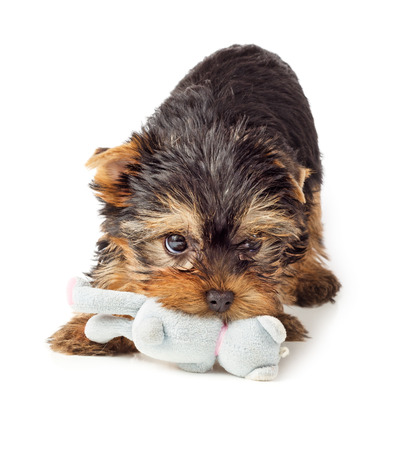씹는 장난감 장난 개. 장난감을 가지고 노는 요크셔 테리어 강아지.