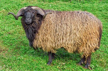 Side view of goat standing on green grass. photo