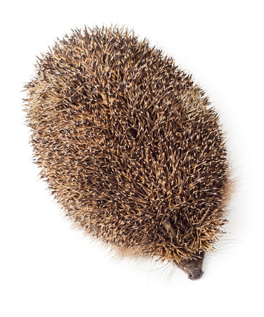 spiked hair: Hedgehog top view isolated on white background Stock Photo