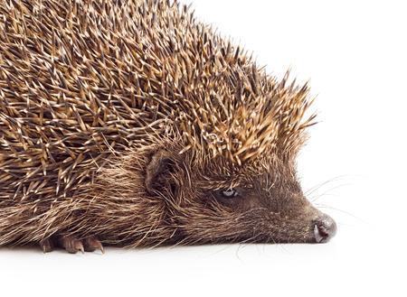 Hedgehog close-up isolated on white background. photo