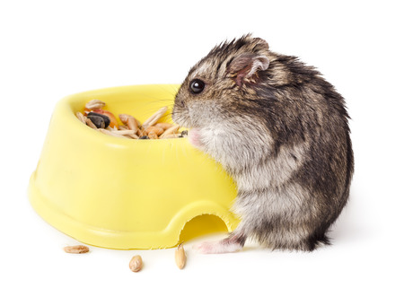 russian hamster: Mouse eating from yellow bowl isolated on white background Stock Photo