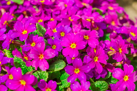 Bright purple garden flowers photo