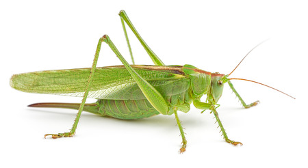 Green grasshopper isolated on white background. Side view, macro.