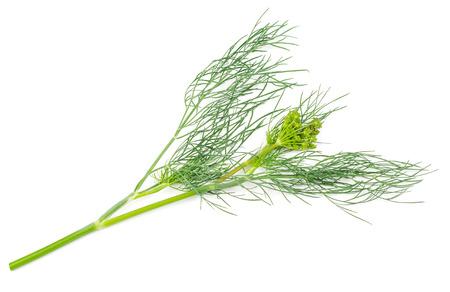 foeniculum vulgare: Fennel isolated on white background. Foeniculum vulgare. Fennel seeds, fennel seed head.