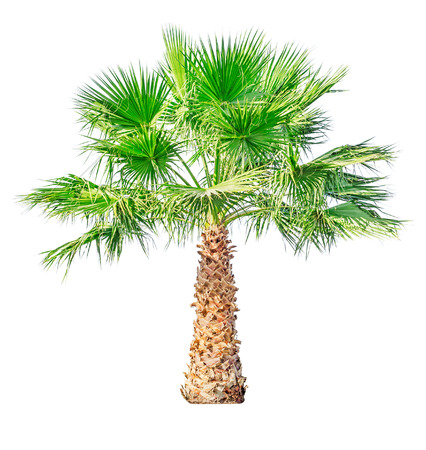 thorn bush: Palm tree isolated on white background. File contains a clipping path.