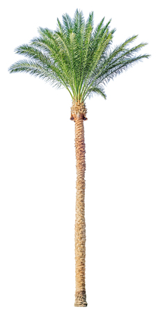 date palm: High date palm tree isolated on white background. File contains a clipping path.