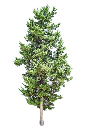 Vieil arbre de cyprès isolé sur fond blanc