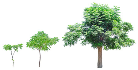 Growing tree isolated on white background. Growth stages.