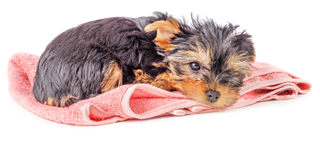 Sad and tired Yorkshire terrier puppy resting on pink carpet isolated on white background. Stock Photo