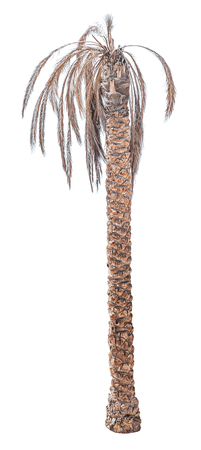 Dead date palm tree isolated on white background