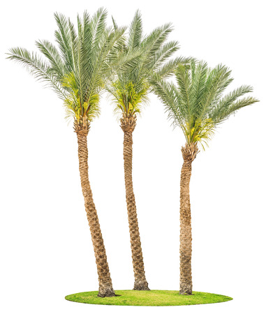 Three date palm trees on green grass isolated on white background.