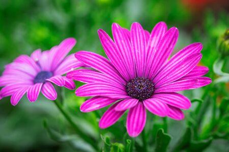 Purple chrysanthemum flower on green background