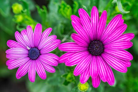 Purple chrysanthemum flower on green background. Top view. 写真素材