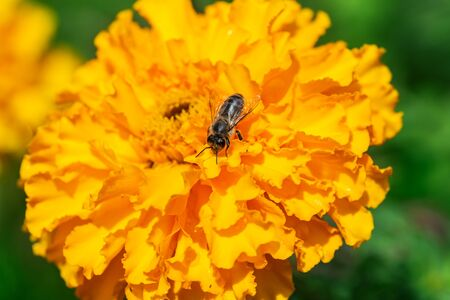 Macro shot of Honey Bee on yellow flower collecting pollen and nectar to make honey.