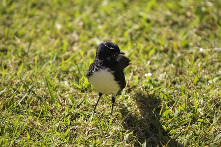 wagtail: Willie Wagtail on grass