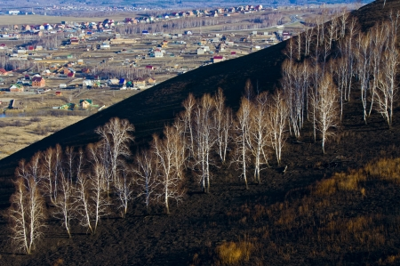 Bare birch trees on a charred hillside photo